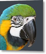 Blue And Gold Macaw Digital Freehand Painting Metal Print