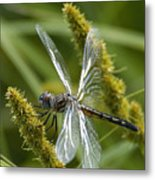 Blue Dasher Dragonfly-female Metal Print