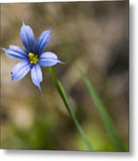 Blue-eyed Grass II Metal Print