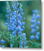 Blue Lupine In The Tetons  Metal Print