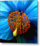 Blue Poppy II - Closeup Metal Print