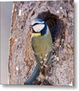 Blue Tit Leaving Nest Metal Print by Cliff Norton