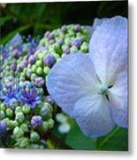 Botanical Garden Blue Hydrangea Flowers Baslee Troutman Metal Print