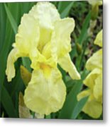 Botanical Yellow Iris Flower Summer Floral Art Baslee Troutman Metal Print