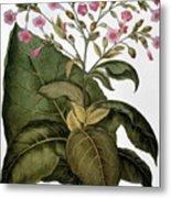 Botany: Tobacco Plant Metal Print