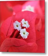 Bougainvilleas And White Metal Print