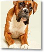 Boxer Dog On Ivory Backdrop Metal Print