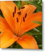 Brilliant Orange Lilly Metal Print