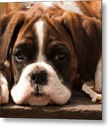 Brindle Boxer Pup Metal Print