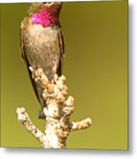Broad-tailed Hummingbird Sitting Boldly On Perch Metal Print