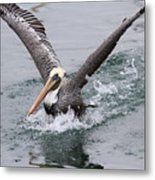 Brown Pelican Landing On Water . 7d8372 Metal Print