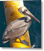 Brown Pelican On Platfrom Metal Print