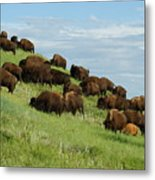 Buffalo Herd Metal Print