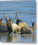 Bugling Elk In Lake Metal Print