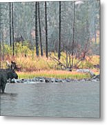 Bull And Cow Moose In East Rosebud Lake Montana Metal Print