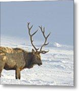 Bull Elk In Snow Metal Print