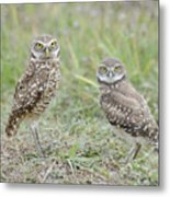 Burrowing Owls Nesting Metal Print