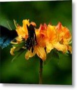 Butterflies On Yellow Azalea Metal Print