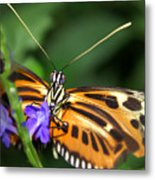 Butterfly 2 Eucides Isabella Metal Print
