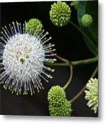 Buttonbush Flowers Metal Print