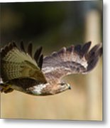 Buzzard In Flight Metal Print