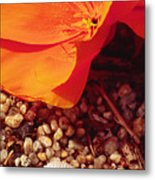 California Poppy And Scallop Shell Metal Print