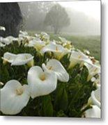 Calla Lilies Zantedeschia Aethiopica Metal Print