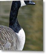Canada Goose Portrait Metal Print