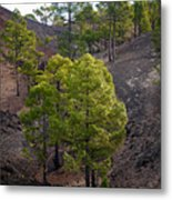 Canary Pines Nr 4 Metal Print
