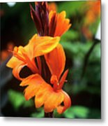 Canna Lily 'roi Humbert' Metal Print by Adrian Thomas