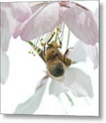 Cherry Blossom With Bee Metal Print