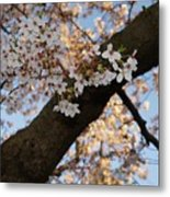 Cherry Blossoms Metal Print by Megan Cohen