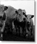 Cheshire Cattle Metal Print