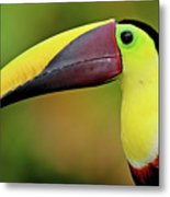 Chestnut Mandibled Toucan Metal Print