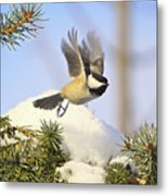 Chickadee-13 Metal Print by Robert Pearson