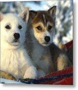 Close Up Of Siberian Husky Puppies Metal Print