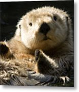 Closeup Of A Captive Sea Otter Making Metal Print