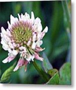 Clover Blossom Metal Print
