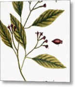 Cloves, 1735 Metal Print