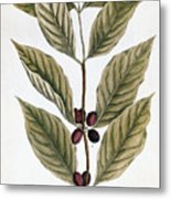 Coffee Plant, 1735 Metal Print