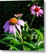 Cone Flower Metal Print by Beverly Cazzell