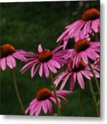 Coneflower Spray Metal Print