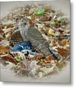 Cooper's Hawk - Accipiter Cooperii - With Blue Jay Metal Print