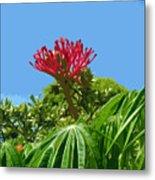 Coral Bush Jatropha Multifida With Flower And Fruit Metal Print