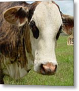 Cows8937 Metal Print