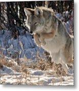 Coyote In Mid Jump Metal Print