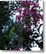 Crepe Mrytle Blossoms Metal Print