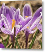 Crocuses 2 Metal Print