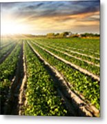 Cultivated Land Metal Print by Carlos Caetano