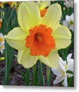 Daffodil 0796 Metal Print